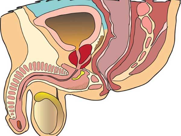 Простатит и репродуктивная функция струя бобра лечения простатита