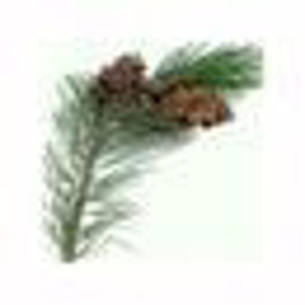 Slika za kategorijo Pycnogenol