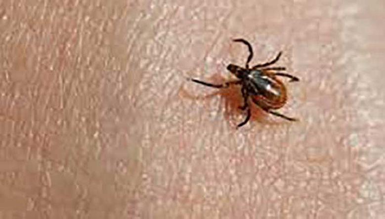 Picture of Klopi in nevarne bolezni!