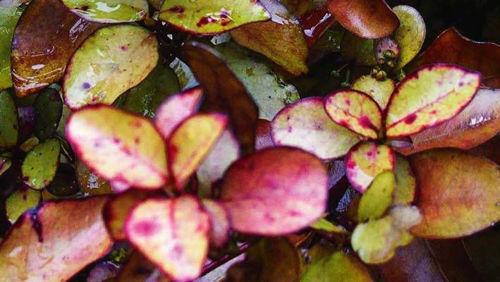 Najstarejša cvetoča rastlina na planetu iz katere izdelujejo Kolorex!