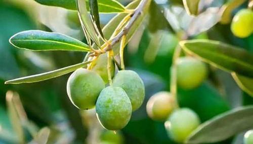 Izvleček iz oljčnih listov - učinkovito antibakterijsko, antiglivično in antivirusno sredstvo.