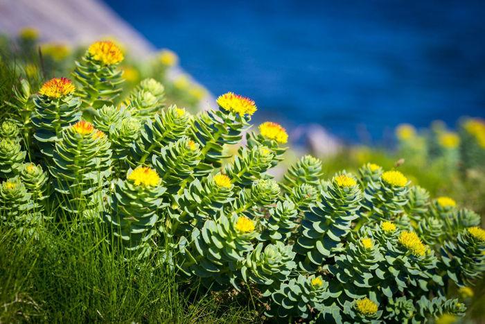 Rhodiola Rosea - v kitajski medicini jo uporabljajo za blaženje tesnobe in depresije